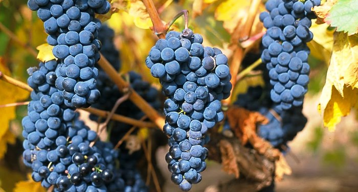 vinedos_rioja_alavesa_uva_tempranillo_viticultura_vendimia