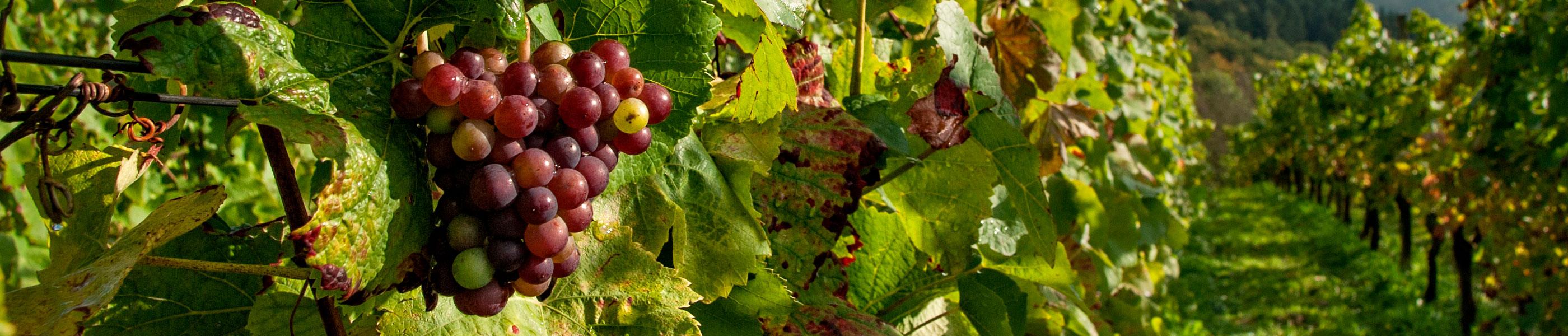 Venta de vinos ecológicos en Santa Cecilia